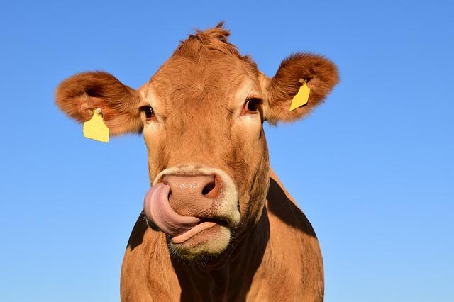 Árt, vagy használ a tehéntej?